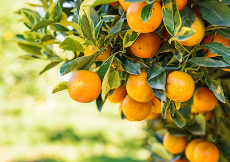 Orange tree in orchard.