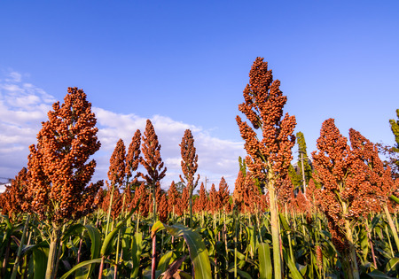 Close up of sorghum in the field Stock Photo