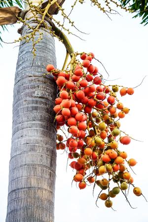 sealing wax: Cyrtostachys renda (Sealing wax palm, Lipstick palm, Raja palm, Maharajah palm) , ornamental plant in gardens.