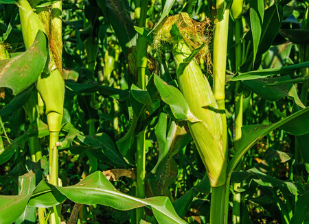 elote: Campo de maíz verde crecía.