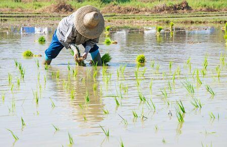 farm duties: Thai farmer preparation rice seedlings.