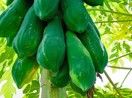 Papaya Trees. photo