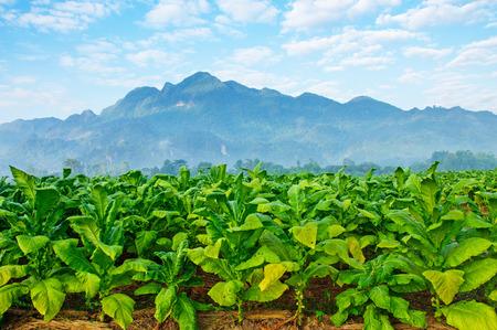 Tabaksplantage in witte wolk en de blauwe hemel.