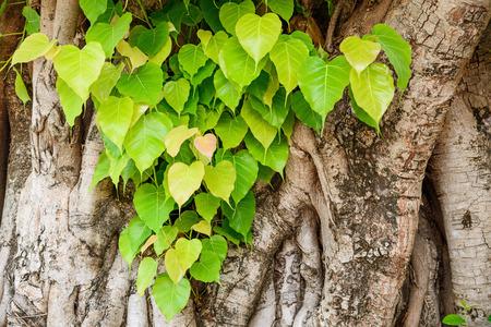 peepal tree: Bodhi or pho leaves and tree.