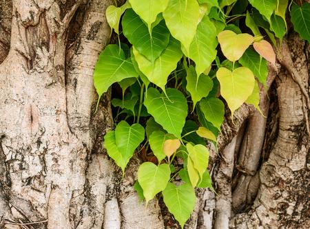 peepal: Bodhi or pho leaves and tree.