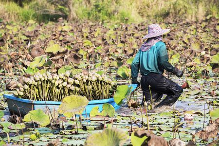 harvests: Farmer harvests lotus before going to market Stock Photo