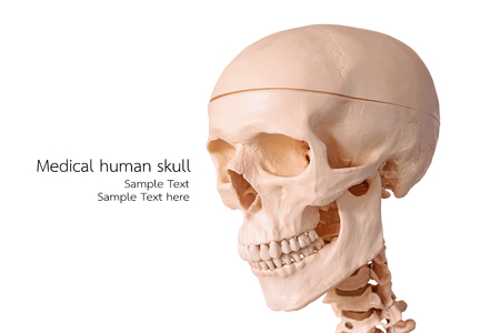 anatomical model: Medical human skull model, used for teaching anatomical science.