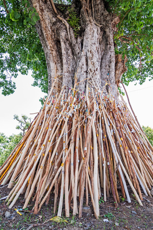 peepal tree: Crutches bodhi tree, Tradition Thai in north of Thailand. Stock Photo