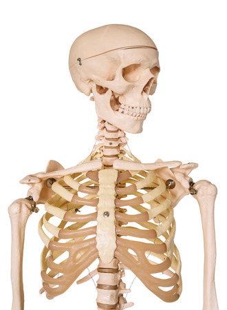 Human skeleton isolated on white .