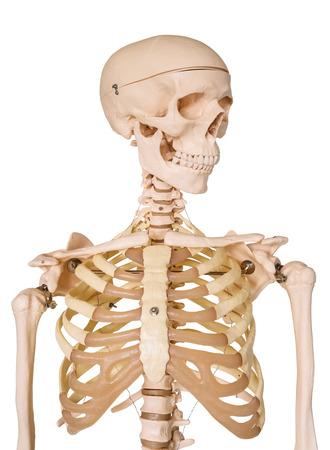 halloween skeleton: Human skeleton isolated on white .