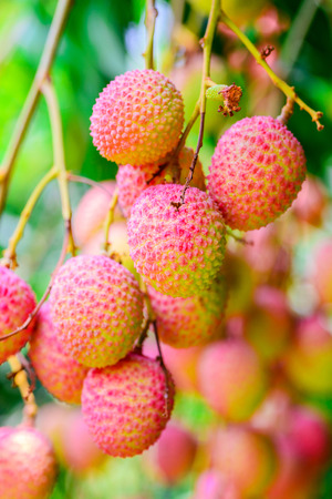 leechee: Lychee fruit on the tree in the garden of thailand, Asia fruit.