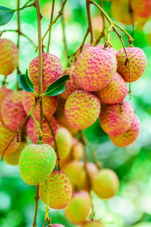 leechee: Lychee fruit (asia fruit) on the tree,Chiang Mai, Thailand. Stock Photo