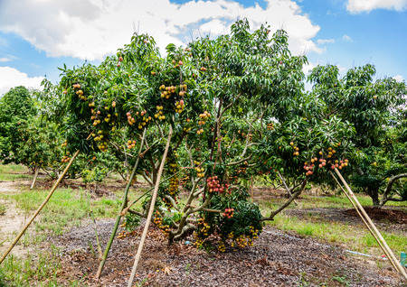 litschi: Lychee fruit (asia fruit) on the tree,Chiang Mai, Thailand. Stock Photo
