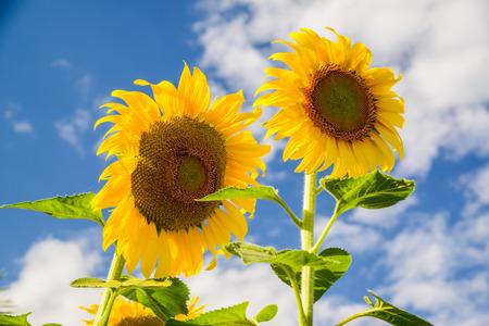 girasol: Girasol amarillo brillante en el cielo azul