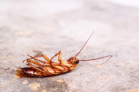 disease control: Dead cockroaches on floor