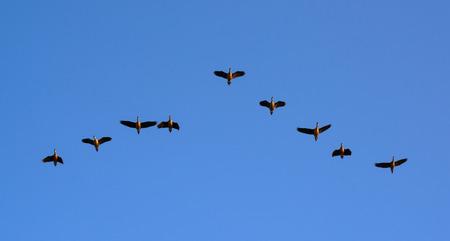Anatre che volano sul cielo blu