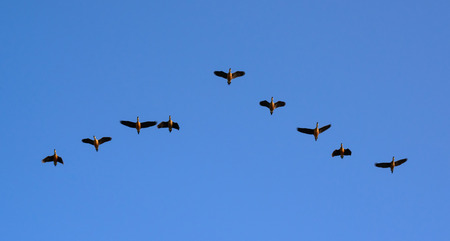 Ducks flying on blue sky