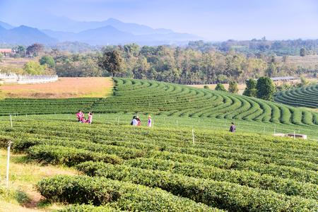 CHIANG RAI, THAILAND - DEC 27: Landscape of tea plantation on December 27, 2015 on a tea plantation at Chui Fong , Chiang Rai, Thailand.