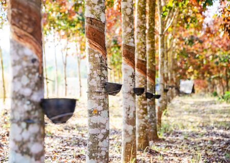 tapper: Rubber milk flows from the rubber tree into the bowl. Stock Photo