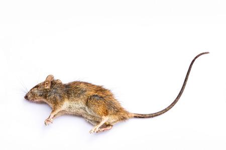 rata: Rata muerta en el fondo blanco Foto de archivo