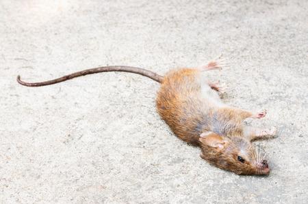 dead rat: Dead Rat on floor background