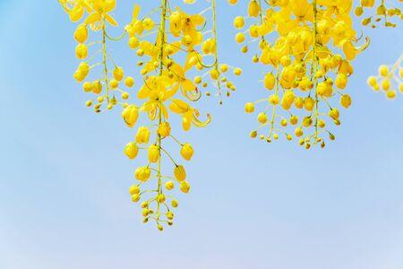 drumstick tree: Cassia fistula flower in the garden. Stock Photo
