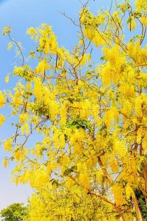 the drumstick tree: Cassia fistula flower in the garden. Stock Photo