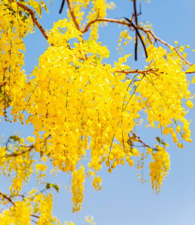 cassia: Cassia fistula flower in the garden. Stock Photo