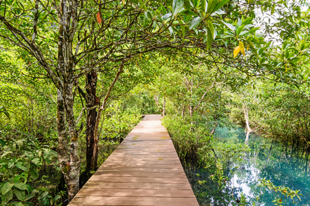 foot bridges: Mangrove forest with wood walk way and emerald river, Krabi, Thailand.
