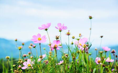 Cosmos flowers blooming in the garden on Mon Cham Hill, Chiang Mai, Thailand. Selective Focus.