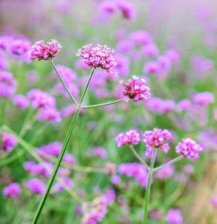 lantana: Verbena flowers in garden, flowering Verbena bonariensis, Common Lantana flower Stock Photo