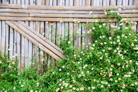 Bamboo fence with white Daisy flower, Flowers on bamboo wall background.