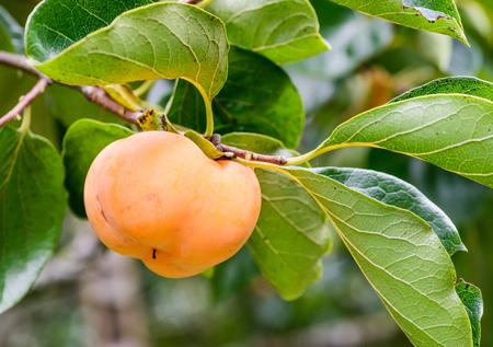 Ripe fresh persimmons on the tree Stock Photo