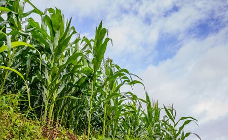 monoculture: Corn field and blue sky