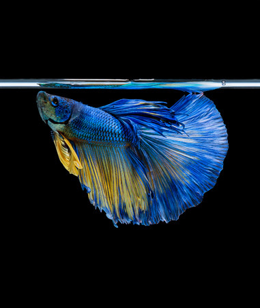 dragon swim: Moving moment of siamese fighting fish isolated on black background.