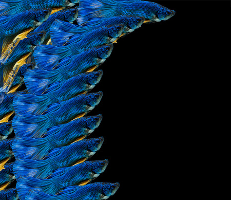 Moving moment of siamese fighting fish isolated on black background.