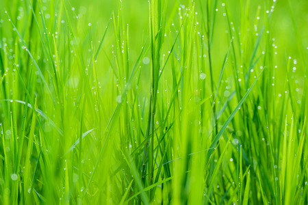 Fresh green grass with morning water drops, natural background. close up with shallow DOF. Stock Photo