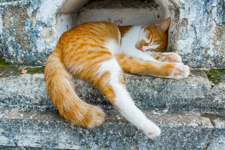 calico whiskers: Sleeping cat lying at the old temple in thailand.