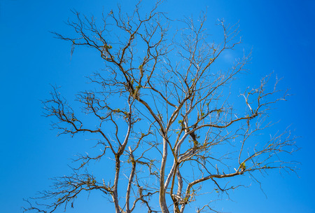 Dead tree with branches and no leaves against blue sky