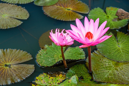 Beauty blossom lotus flower in pond and reflection on surface, Beauty water lilly flower.