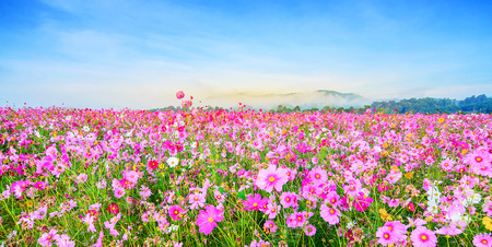 Cosmos flower against blue sky, Chiang Rai, Thailand. 免版税图像