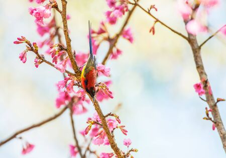 Sunbird bird, Goulds Sunbird with Sakura pink flower in Ang Khang Nation Park, Chiang Mai, Thailand.