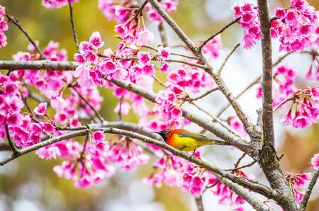 Sunbird bird, Goulds Sunbird with Sakura pink flower in Chiang Mai, Thailand.