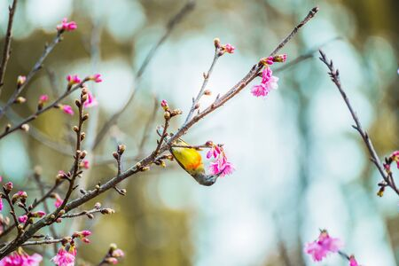 Cute bird Mountain Bulbul and Sakura pink flower, Bird on Sakura tree. Stock Photo