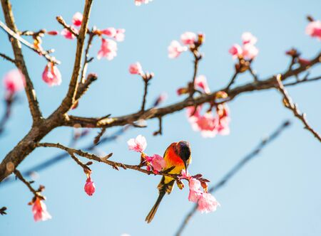 dona: Sunbird bird, Goulds Sunbird with Sakura pink flower in Ang Khang Nation Park, Chiang Mai, Thailand.