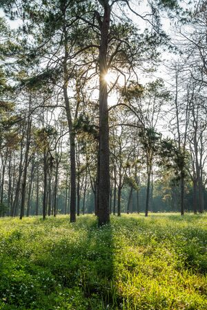 scots pine: Pine Forest. Pinus caribaea forest, Chiang Mai, Thailand. Stock Photo