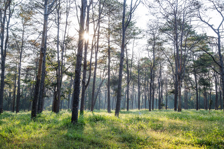 scots: Pine Forest. Pinus caribaea forest, Chiang Mai, Thailand. Stock Photo