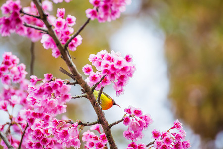 dona: Sunbird bird, Goulds Sunbird with Sakura pink flower in Chiang Mai, Thailand.
