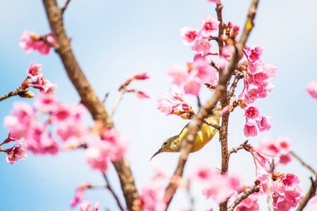 Cute bird Mountain Bulbul and Sakura pink flower, Bird on Sakura tree in Ang Khang Nation Park, Chiang Mai, Thailand.