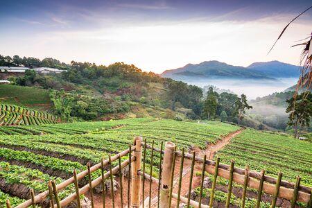 Landscape of Strawberry garden at Doi Ang Khang , Chiang Mai, Thailand.